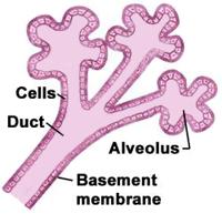 Mikroskopski vidljiva, shematizirana građa mliječnog režnjića i izvodnih mliječnih kanalića dojke