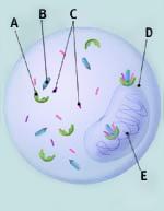 Slika estrogenskih receptora u stanici